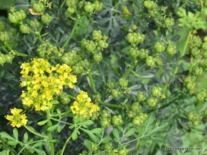 Rue-host plant for the swallowtail butterfly