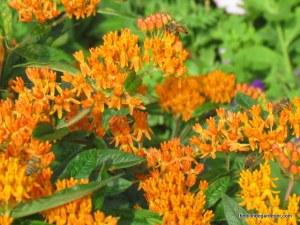 asclepias tuberosa milkweed bee