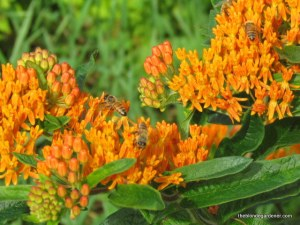 Asclepias tuberosa or Milkweed is not only a food source for the monarch butterfly, bees enjoy it as well.  http://theblondegardener.com/2015/02/20/plants-to-consider-for-your-garden/