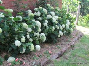 Annabelle hydrangeas line a shady spot behind my garage. https://theblondegardener.com/2015/01/29/planning-your-garden-site/