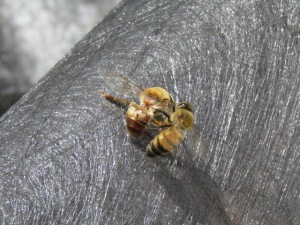 In winter, housekeeper bees have the task of removing dead bees in the hive during a warm spell. https://theblondegardener.com/2015/01/17/winter-and-bees/