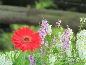 gerbera daisy angelonia