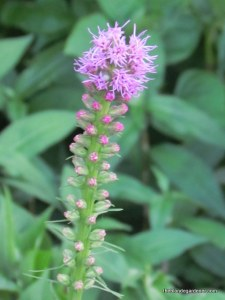 Liatris spicata or blazing star