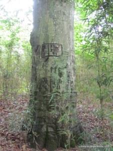 steele creek beech tree