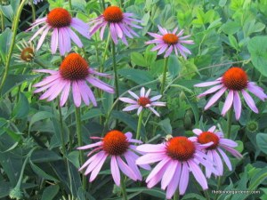 purple coneflower echinacea
