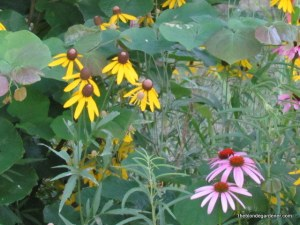 Gray headed coneflower and purple coneflower