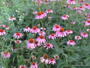 Purple coneflower or Echinacea purpura loves the sunshine.https://theblondegardener.com/2015/01/21/planning-a-garden/