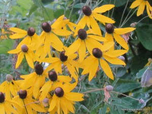 coneflower ratibida pinnata?