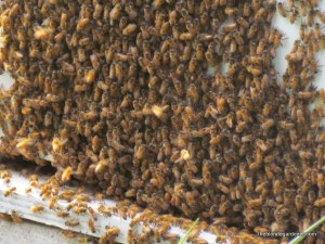 Summertime bees https://theblondegardener.com/2015/01/17/winter-and-bees/