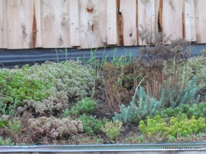 August 2014--sedums are filling in nicely on the living roof  https://theblondegardener.com/2015/08/01/chicken-coop-with-living-roof/