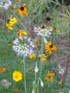 flower bed, allium, black eyed susan, coreopsis