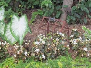 caladium begonia