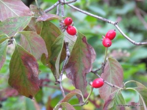 dogwood berry