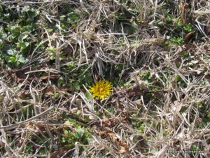The lowly dandelion is one of the first flowers to bloom for the bee.  https://theblondegardener.com/2015/01/17/winter-and-bees/