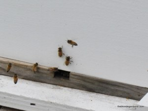 Guard bees must be vigilent at all times.   https://theblondegardener.com/2015/01/17/winter-and-bees/