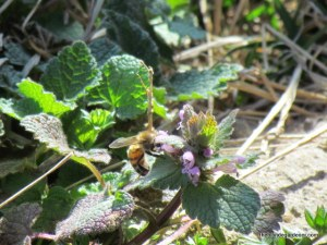 bee and deadnettle