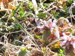bee and dead nettle