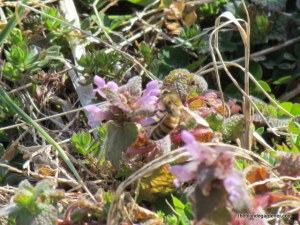 Bees love the early blooming dead nettle