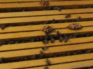 Spring Bees  https://theblondegardener.com/2015/05/09/bee-update/