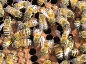 Springtime bees are busy gathering pollen.  https://theblondegardener.com/2015/04/05/springtime-in-the-ozarks/
