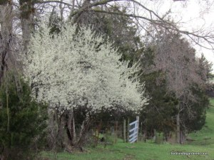 Serviceberry trees are the first to bloom in the Ozarks http://theblondegardener.com/2015/04/05/springtime-in-the-ozarks/