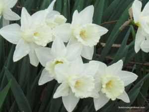 'Mt. Hood' daffodil is a long blooming daffodil.  http://theblondegardener.com/2015/04/05/springtime-in-the-ozarks/