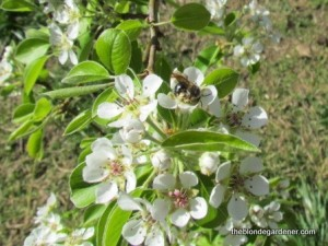 Blossoms on a pear tree bring in the bees.  http://theblondegardener.com/2015/04/05/springtime-in-the-ozarks/