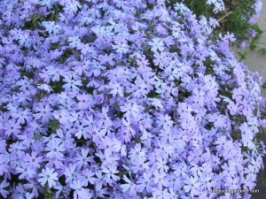 Creeping phlox is an old-fashioned spring flower.  http://theblondegardener.com/2015/04/05/springtime-in-the-ozarks/