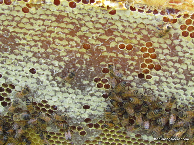 Bees instictively know when to cap honey with beeswax. https://theblondegardener.com/2017/07/23/minding-my-own-beeswax/