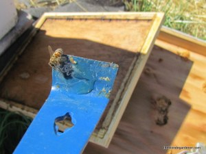 bee and honey on my hive tool  http://theblondegardener.com/2015/05/09/bee-update/