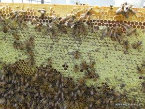 bees and honey  http://theblondegardener.com/2015/05/09/bee-update/