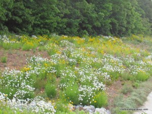 roadside daisies and coreopsis