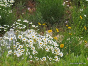 daisies and coreopsis