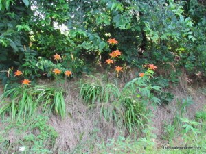 Common Tiger Lily  http://theblondegardener.com/2015/06/19/lily-of-the-ditch/