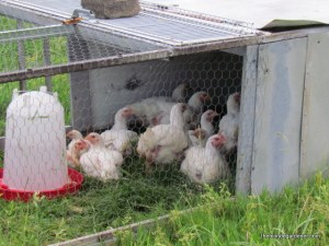 Meat Chickens in the chicken tractor http://theblondegardener.com/2015/06/19/im-beginning-to-mold/