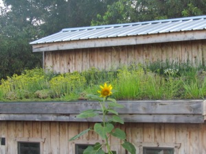 chicken coop with a living roof  https://theblondegardener.com/2015/08/01/chicken-coop-with-living-roof/
