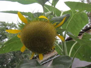 sunflower at the chicken coop  https://theblondegardener.com/2015/08/01/chicken-coop-with-living-roof/