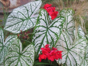 caladium and geranium
