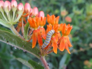 asclepias milkweed monarch caterpillar