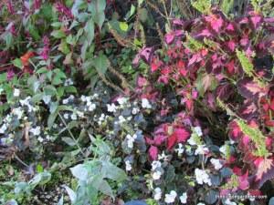coleus and begonia october