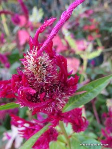 celosia and seed