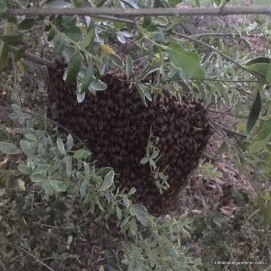 My first swarm-April 9, 2016. https://theblondegardener.com/2016/04/25/my-first-swarm/