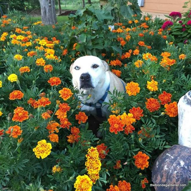 Multi-colored (orange, yellow, rust, gold) large marigolds--will get approximately 12-18 inches tall.  This annual needs full sun and will bloom all summer with dead heading.  (Dog not included