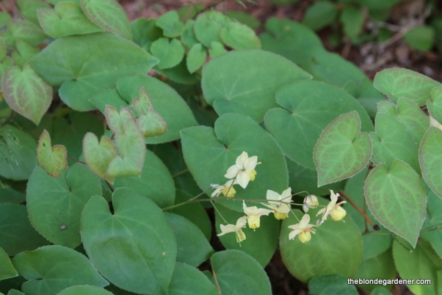 Native groundcover epimedium provides early spring color