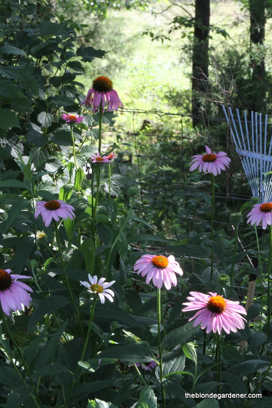 Summertime is not complete without Purple Coneflowers. Butterflies love these nectar-rich flowers. https://theblondegardener.com/2017/07/07/a-pollinator-friendly-garden/