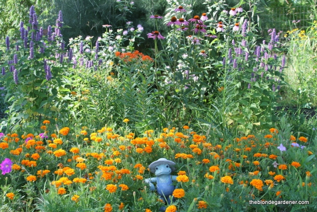 The butterfly garden is in full bloom. Host and nectar plants provide much needed food for hungry pollinators. https://theblondegardener.com/2017/07/07/a-pollinator-friendly-garden/