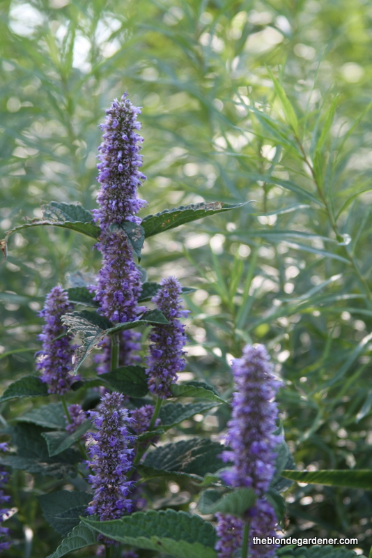 Probably the most popular plant in the butterfly garden is my Lavender Hyssop. Pollinators of all kinds flock to this plant. It is a native Arkansas plant, a perennial, and grows to about 2 feet tall. https://theblondegardener.com/2017/07/07/a-pollinator-friendly-garden/