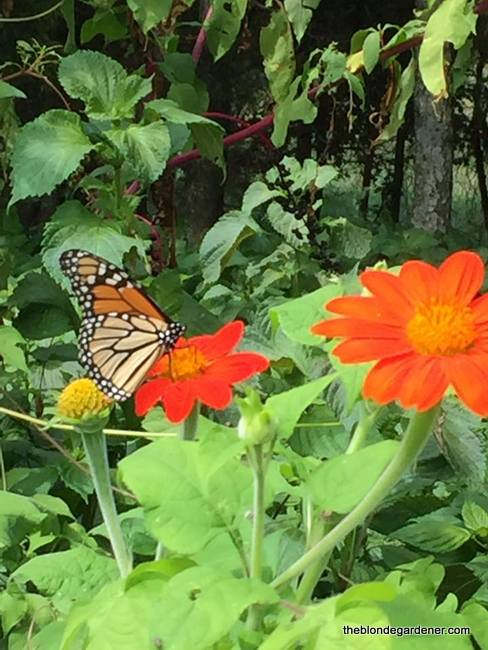 mexican sunflower and monarch