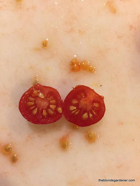 The seeds from the small Mexico Midget tomato can be saved from year to year. https://theblondegardener.com/2018/03/11/how-to-start-tomatoes-from-seed/
