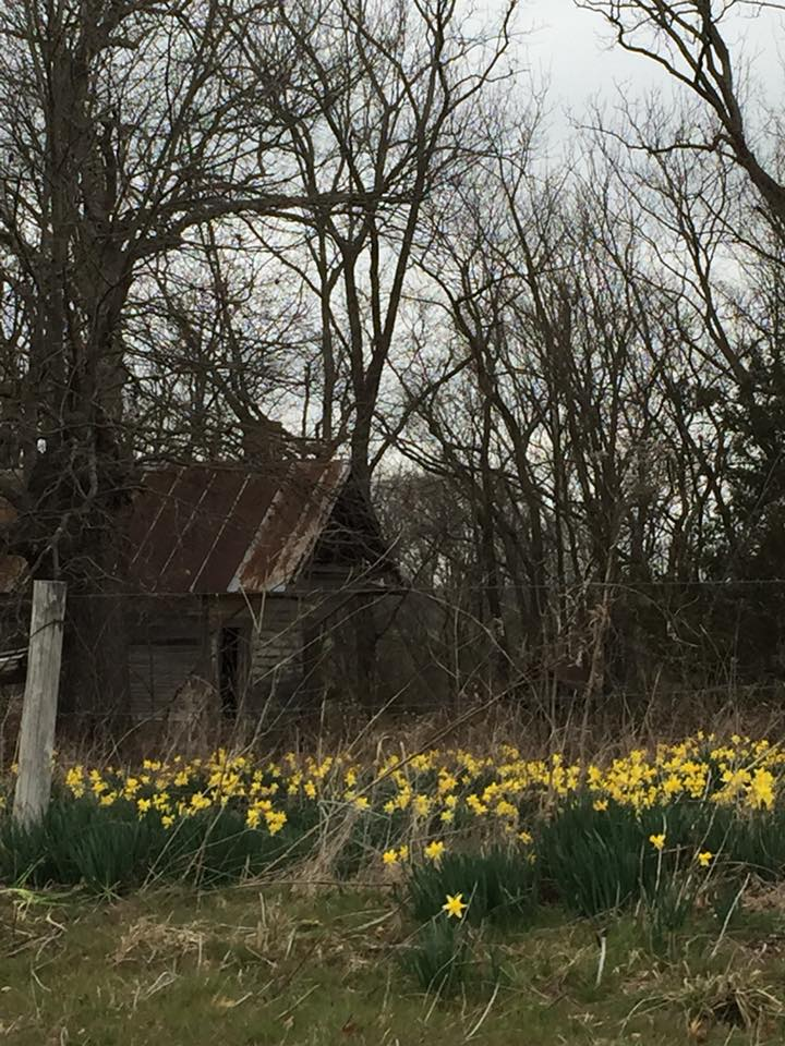 daffodils and old hometead